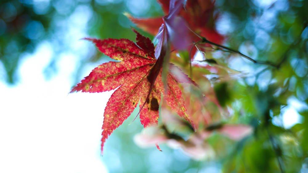 Japanese Maple Leaf.jpg