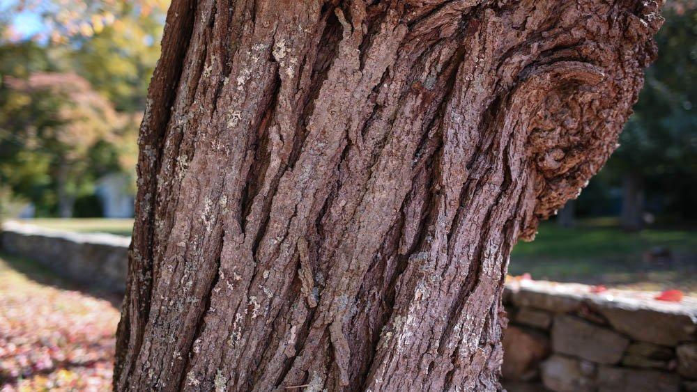 red-maple-bark