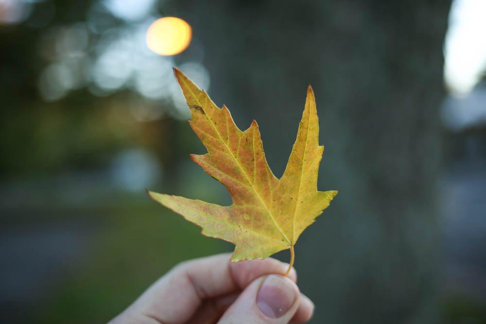 Silver Maple Leaf.jpg