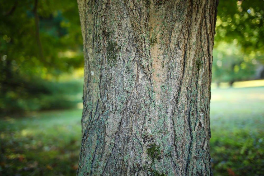 sugar-maple-bark